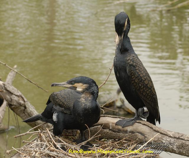 Cormorants building nest