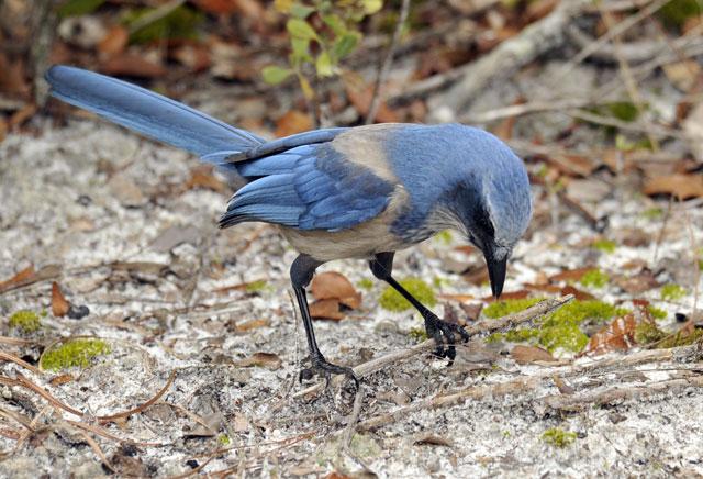 Florida Scrub Jay at Lyonia Preserve, Deltona, Florida