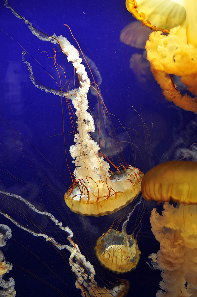 Jellyfish - Tennessee Aquarium