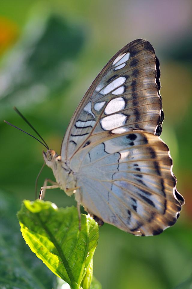 DSC_8967-Butterfly