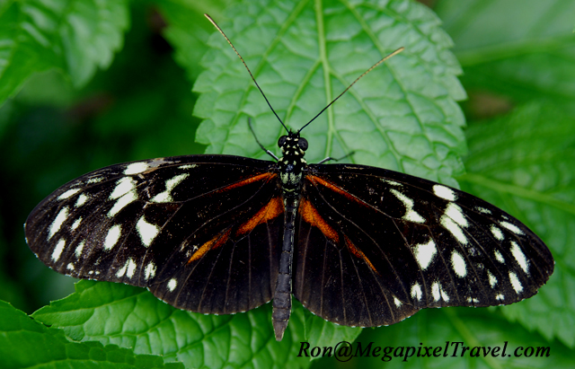 _LND1701-Hercale-Longwing