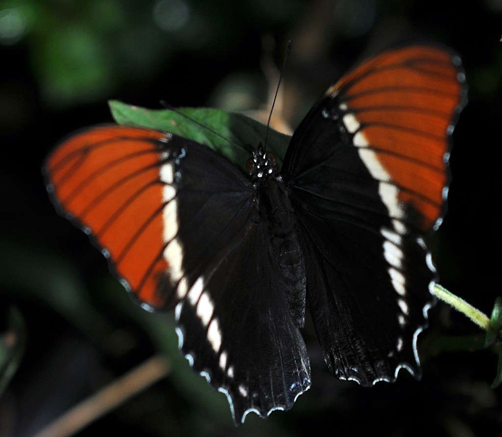 DSC_9119-Butterfly