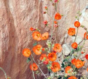 DSC_9130-Desert-Globe-Mallo