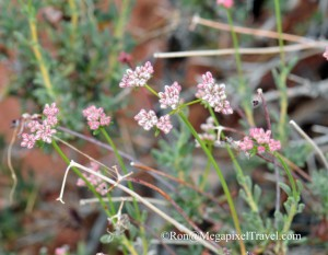 DSC_9153-Desert-flowers