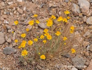 DSC_9192-Desert-Marigold