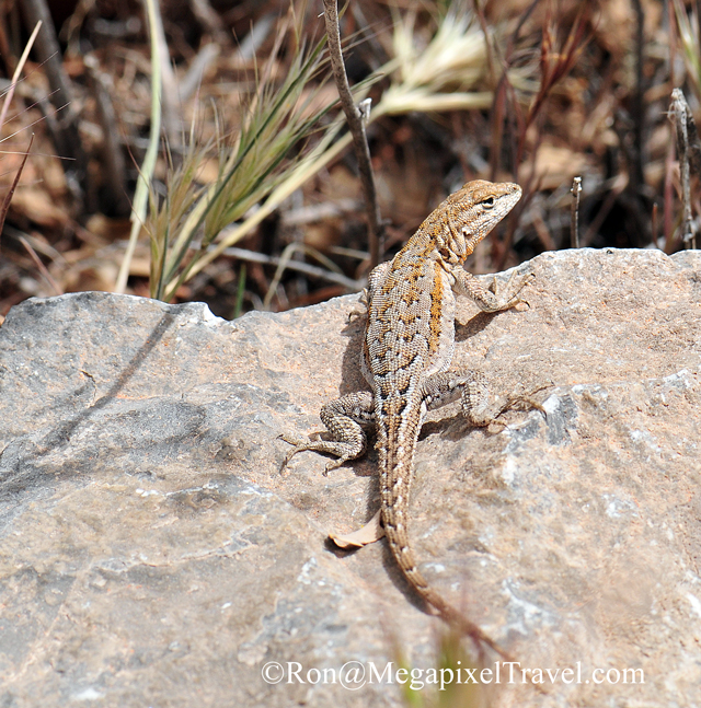 DSC_9239-Lizard