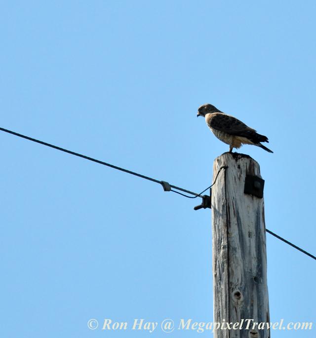 RON_3535-Hawk-on-pole