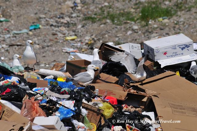 RON_3566-Gulls-at-Dump