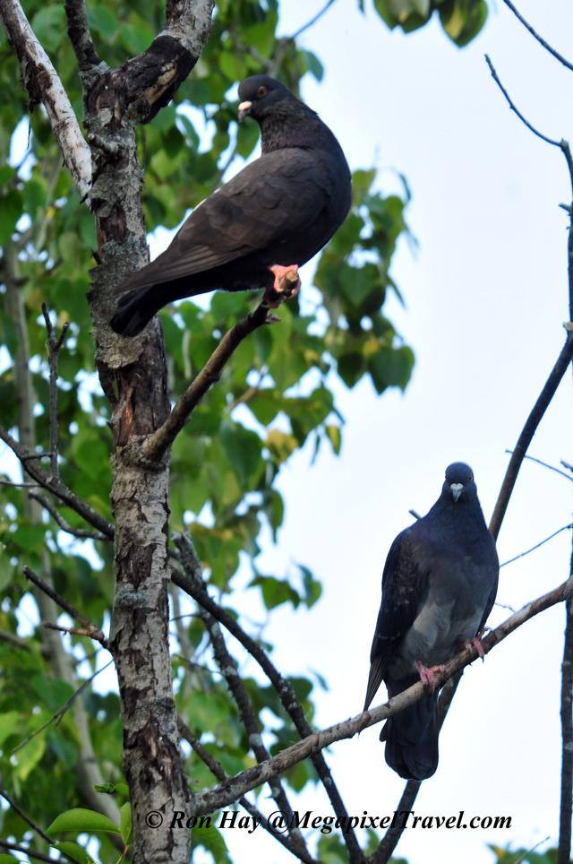 RON_3574-Pigeons
