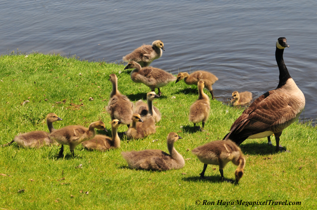 RON_3578-Canada-Geese