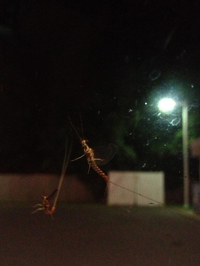 image-Fishfly